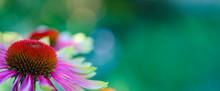 Horizontal Banner Of Echinacea...