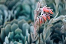 Close Up Of Succulent Plants I...