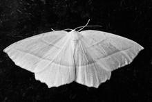 Monochrome Image Of Common Whi...