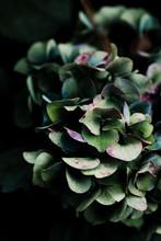 Hydrangea In Moody Light