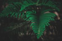 Closeup Norfolk Island Pine , Warm Tone Background