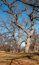 Ancient Old Gnarled Pecan Trees Stand Against Bright Winter Sky
