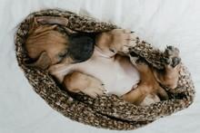 A Cute Rhodesian Ridgeback Puppy