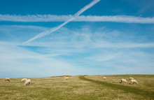 Blue Skies, Vapour Trails And Grazing Sheep.