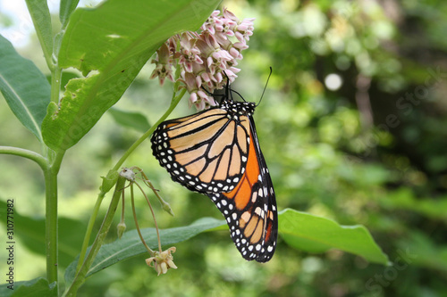 Monarch butterfly on flower Wallpaper Mural