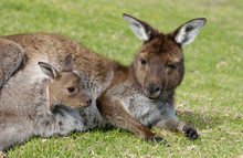 Kangaroo With Joey In Pouch.