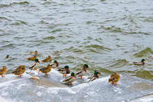 Wild Migratory Ducks On The Riverbank In Winter Selective