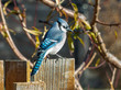 Blue jay bird on wooden fence in backyard garden