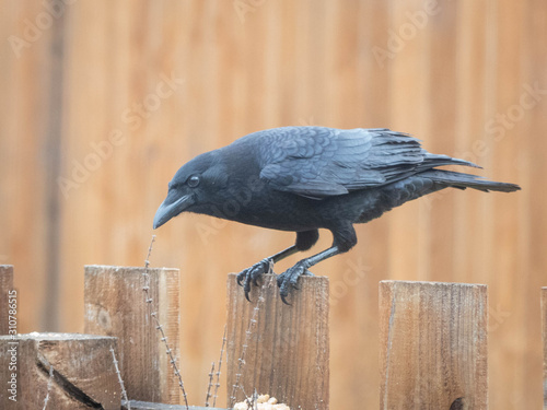 Fotografija American crow wild bird on wood fence in backyard garden