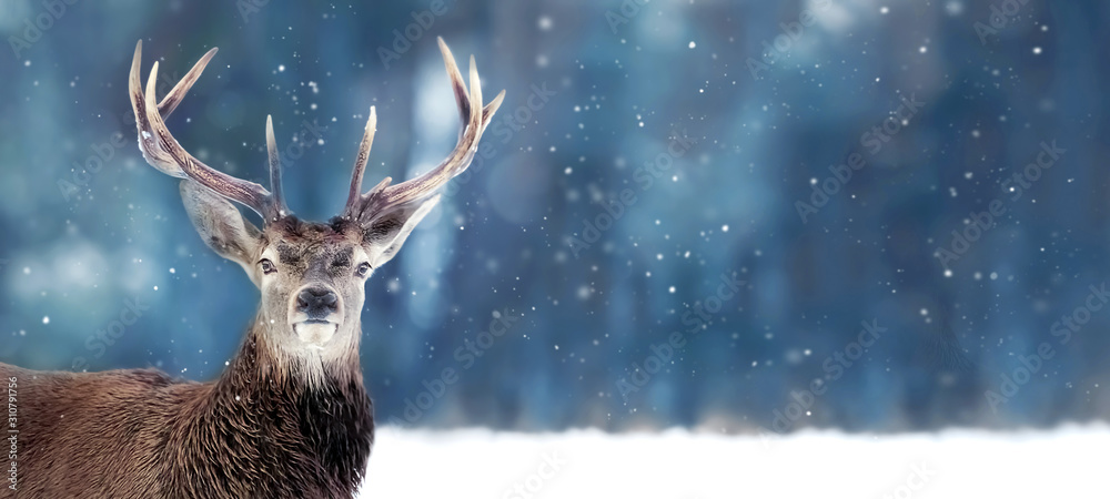Fototapeta Beautiful Noble deer male with big horns in winter snow forest. Winter christmas banner. Copy space.