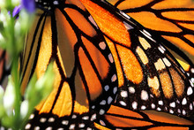 Monarch Butterfly Wings. Natur...