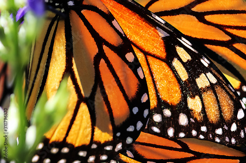 Papel de parede Monarch Butterfly Wings. Natural background.