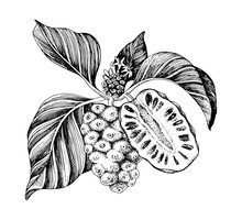 Hand Drawn Vector Noni Branch.