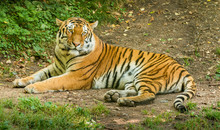 Siberian Tiger Laying On The G...