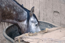 Portrait Of Dappled Gray Horse