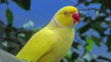 Yellow Indian Ring Necked Parakeet