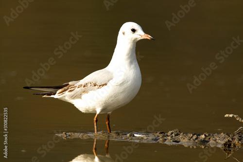 Obraz na płótnie Black-headed gull feeding on a fishpond Crna Mlaka