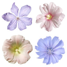 Set Of Chicory, Clematis And M...