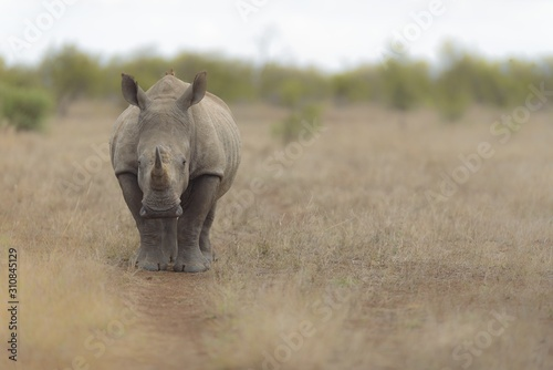 Stampa su Tela Selective focus shot of a rhino walking in a dry grassy field