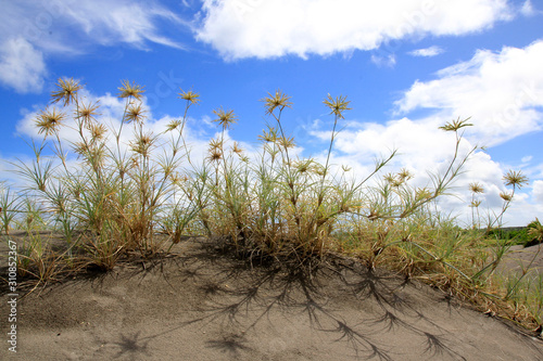 Photo Spiny grass, a vine that grows wild in the sandbanks area of Parangkusumo Beach