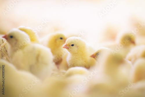 Fotografering Baby chicks at farm