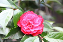 Camellia Blooming In The Spring