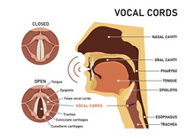 Vocal Cords. The Human Voice