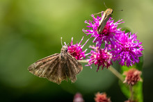 Focus On A Horace's Duskywing Butterfly Sharing A Bloom With A Fierly Skipper In The Background At Yates Mill County Park In Raleigh, North Carolina.