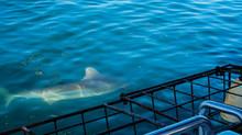 Close Up Shot Large Shark Next...