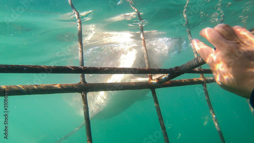 Canvas-taulu Close up shot large shark next to white shark cage diving in South Africa scary