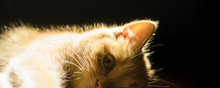 Detailed Portrait Of A Ginger Kitten With A Glowing Bright Silhouette On A Black Background In The Form Of A Banner