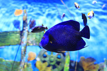 Blue Faced Angelfish (Pomacant...