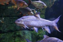 Freshwater Fish Carp (Cyprinus...