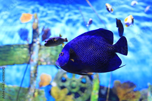 Blue faced angelfish (Pomacanthus xanthometopon) swimming under water in aquarium tank Canvas Print
