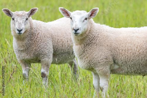Stampa su Tela Fat lambs on the farm
