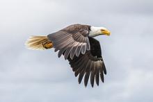 Canadian Bald Eagle (haliaeetu...
