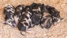 Piglets Sleeping Side By Side On Wood Shavings
