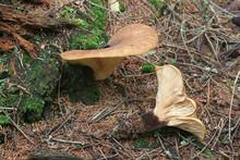 Tapinella Atrotomentosa, Known...