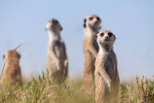 Meercats Playing In African Sa...