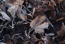 Dry Brown Maple Leaves Covered...