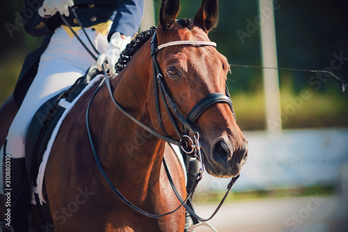 Fototapeta Portrait of a beautiful Bay horse, dressed in sports gear for dressage and with rider in the saddle, who holds her by the reins. obraz