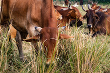 A Herd Of Cows Resting In A Meadow. Indian Sacred Zebu Cows.