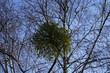 Mistel in einem Baum bei Sonnenschein