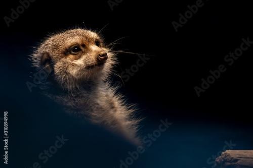Fototapeta  a meerkat keeping watch