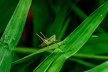 Green Grasshopper Standing On ...