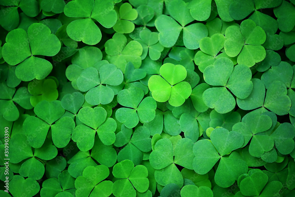 Fototapeta Green clover leaf nature abstract background. Beautiful clover leaves background. shamrock, St.Patrick`s day holiday symbol concept, template for design. copy space