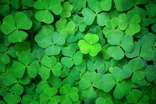 Green Clover Leaf Nature Abstract Background. Beautiful Clover Leaves Background. Shamrock, St.Patrick`s Day Holiday Symbol Concept, Template For Design. Copy Space