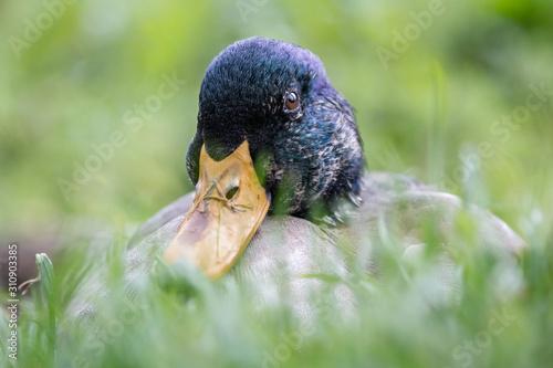 Photo Mallard Duck - Anas platyrhynchos