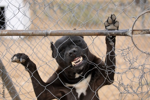 Photo Pitbull terrier biting the wire fence aggressively showing his teeth