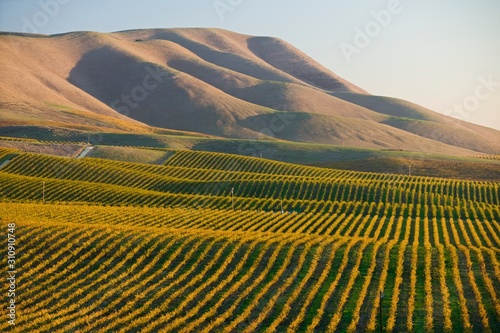 Fotografie, Obraz Vineyard in Santa Maria California